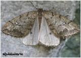 White-spotted Cankerworm MothPaleacrita merriccata #6663