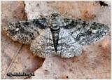 Double-lined Gray MothCleora sublunaria #6594