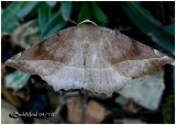Curve-toothed Geometer MothEutrapela clemataria #6966