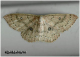 Packard's Wave MothCyclophora pacardi #7136