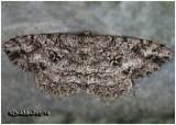 Canadian Melanolophia MothMelanolophia canadaria #6620