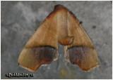 Straight-lined Plagodis MothPlagodis phlogosaria #6842