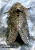 Saddled Prominent Moth-MaleHeterocampa guttivitta #7994