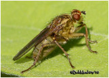 Dung Fly-Female