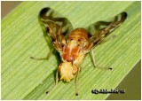 Fruit Fly-Male