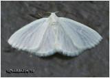 White Spring Moth-Lomographa vestaliata #6667