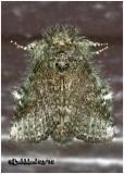 Saddled Prominent Moth-FemaleHeterocampa guttivitta #7994