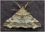 Dark-banded Owlet Moth Phalaenophana pyramusalis #8338