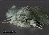 Wavy Lined Heterocampa MothHeterocampa biundata #7995