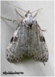 Confused Meganola MothMeganola minuscula #8983