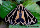 Carlotta's Tiger Moth Apantesis carlotta #8171.1