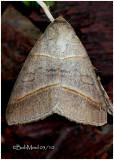 Texas Mocis Moth Mocis texana #8745