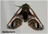 Eyed Paectes Moth Paectes oculatrix   #8957