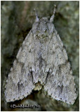 American Dagger MothAcronicta americana  #9200