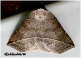 Thin-lined Owlet Moth Isogona tenuis #8493