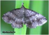 Black-banded Owlet MothPhalaenostola larentioides #8364