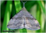 Pale Phalaenostola MothPhalaenostola metonalis #8362