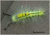 Definite Tussock Moth CaterpillarOrgyia definita  #8314