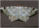 Red-headed Inchworm Macaria bisignata  #6342