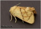 Inverted Y Slug MothApoda y-inversum #4667