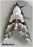 Thin-winged Owlet MothNigetia formosalis #8440