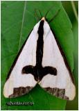 Clymene MothHaploa clymene#8107