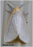 Delicate CycniaCycnia tenera #8230