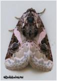 Pink Barred Lithacodia MothPseudeustrotia carnela #9053