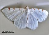Lesser Maple Spanworm MothMacaria pustularia #6273