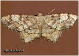 One-spotted Variant MothHypagyrtis unipunctata #6654