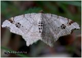 Common Angle MothMacaria aemulataria #6326