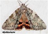 Youthful Underwing Moth Catocala subnata #8797