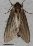 PIne Sphinx Moth Lapara conigerarm #7816