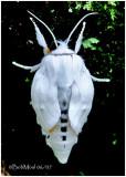Virginian Tiger MothSpilosoma virginica #8137