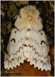 Gypsy Moth-FemaleLymantria dispar #8318