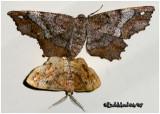 One-spotted Variant Moth-MatingHypagyrtis unipunctata #6654