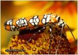 Ailanthus Webworm MothAtteva aurea #2401
