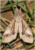 Streaked Tussock MothDasychira obliquata #8302