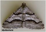 Curved Line Angle MothMacaria continuata #6362