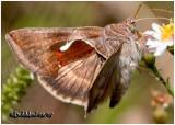 Celery Looper MothAnagrapha falcifera #8924