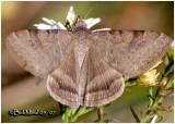 Clover LooperCaenurgina crassiuscula #8738