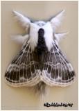 Large Tolype MothTolype velleda #7670