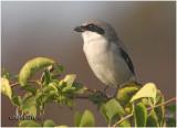 Loggerhead Shrike-November 2007