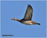 Wood Duck-Female