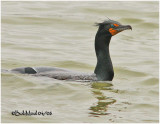 Double Crested Cormorant-Breeding Plumage