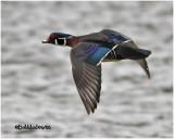 Wood Duck-Male