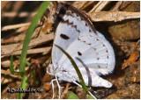 Bluish Spring Moth-Lomographa semiclarata #6666