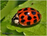 FAMILY COCCINELLIDE