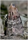 Double-humped Pococera MothPococera expandens #5608
