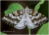 Powder MothEufidonia notataria # 6638